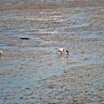 Tadorine de Belon dans une vasière du Golfe du Morbihan
